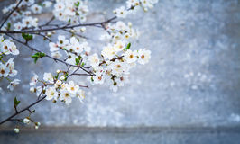 White cherry flowers over blue concrete wall royalty free stock photo