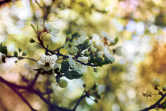 White cherry flowers. White romantic spring cherry blossom flowers very beautiful cute pink and blue colors atmosphere sakura stock photography