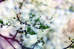 White cherry flowers. White romantic spring cherry blossom flowers very beautiful cute pink and blue colors atmosphere sakura stock images