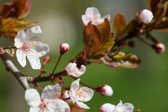White cherry flowers at spring Royalty Free Stock Image