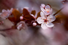 White cherry flowers in spring Stock Image