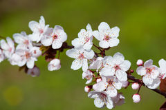 White cherry flowers in spring Royalty Free Stock Image