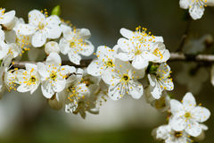 White cherry flowers in spring Royalty Free Stock Photos
