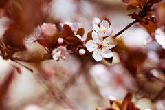 White cherry flowers in spring Royalty Free Stock Images