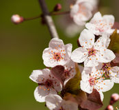 White cherry flowers in spring Stock Photography