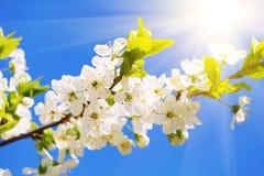 White cherry flowers Royalty Free Stock Photos