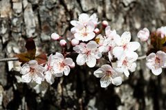 White cherry flowers in spring Stock Photos