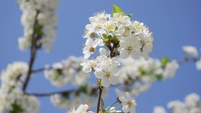 White cherry flowers sway in the wind against blue sky, closeup stock video