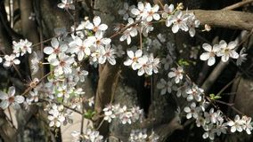 White Cherry Flowers stock footage