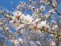 White cherry flowers Stock Photo