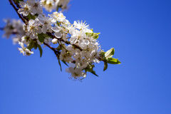 White cherry flowers under sunlight. Red flowers under sunlight - blue sky background Stock Photo