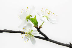 White cherry flowers on white background Royalty Free Stock Images