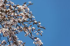White cherry plum flowers blossom against background of blue sky. A lot of white flowers in sunny spring day. Selective focus. There is a place for your text stock photos