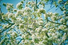 White Cherry-plum Flowers Stock Photo