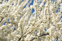 White Cherry Plum Tree Flowers Stock Images