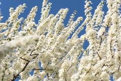 White Cherry Plum Tree Flowers Royalty Free Stock Image