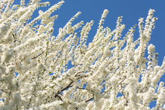 White Cherry Plum Tree Flowers Stock Image