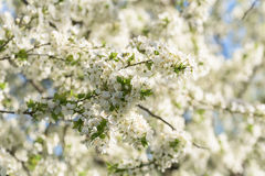 White Cherry Plum Tree Flowers Royalty Free Stock Photography