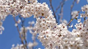 White Cherry Plum Tree Flowers. Spring Blossom stock video