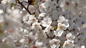 White Cherry Plum Tree Flowers. Spring Blossom stock video footage