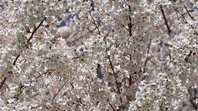White Cherry Plum Tree Flowers stock footage