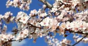 White Cherry Plum Tree Flowers In Spring. White Cherry Plum Tree Flowers Spring Blossom stock footage