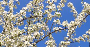 White Cherry Plum Tree Flowers In Spring. White Cherry Plum Tree Flowers Blossom In Spring stock video