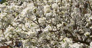 White Cherry Plum Tree Flowers In Spring. White Cherry Plum Tree Flowers Blossom In Spring stock video footage
