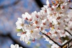White cherry Sakura blossom in spring season stock image