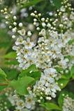 White cherry spring flowers Royalty Free Stock Photos