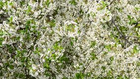 White cherry tree blossom and bees collecting nectar. Cerasus avium. Beautiful white blossom of huge number of cherry tree flowers and green leaves blown by wind stock video
