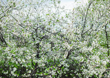 White cherry tree blossom in a garden Royalty Free Stock Photos