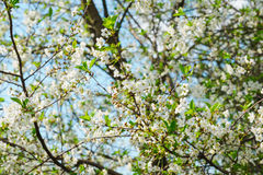 White cherry tree blossom in a garden Stock Photography
