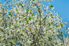 White cherry tree blossom in a garden Royalty Free Stock Photo