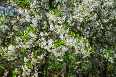 White cherry tree blossom in a garden Royalty Free Stock Images