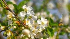 White cherry tree blossom at spring, green leaves. stock video