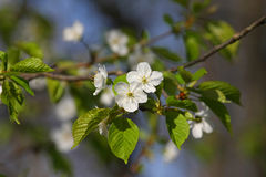 White Cherry Tree Blossoms. In Morning Sun In Spring Stock Images