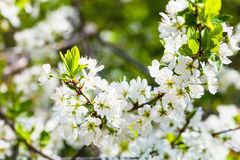 White cherry tree blossoms close up in sping Royalty Free Stock Photography