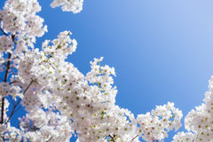 White cherry tree blossoms in spring Royalty Free Stock Photos