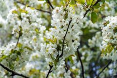 White cherry tree branch flowers in spring stock photo