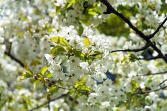 White cherry tree branch flowers in spring.  stock photo