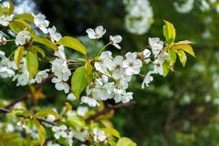 White cherry tree branch flowers in spring.  stock photos