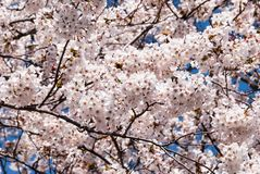 Beautiful sakura cherry blossom trees in full bloom. Stock Photo