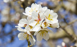 White cherry tree Stock Photos