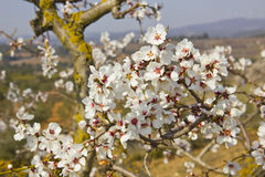 White cherry tree Stock Image