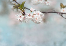 White cherry tree flower in spring Royalty Free Stock Image