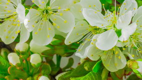 White Cherry Tree Flowers. stock video footage