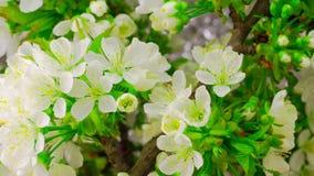 White Cherry Tree Flowers. stock video