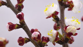 White Cherry Tree Flowers Blossoms. stock video footage