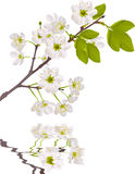 White cherry tree flowers with reflection Stock Image